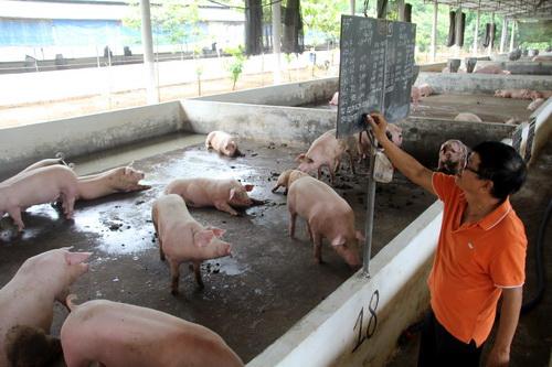 Mô hình chăn nuôi heo sạch của ông Hải được ghi chép thông tin trên bảng theo dõi. Ảnh: Phước Tuấn