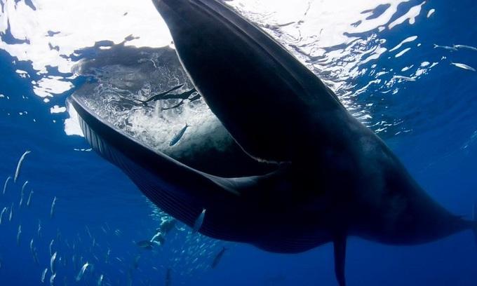 Nhiếp ảnh gia suýt bị cá voi dài 17 m đớp gọn