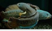 Cá lóc hoàng đế giá 130 triệu đồng thu hút dân chơi