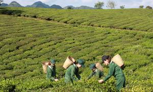 Hành trình đưa trà Việt đến hơn 20 quốc gia của Vinatea