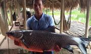 Cá trắm khủng vùng vẫy trăm mét vì mắc câu ở hồ Hà Nội