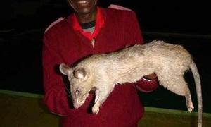 Bé 3 tháng tuổi ở Nam Phi bị chuột khổng lồ ăn thịt