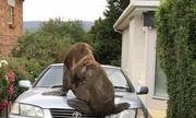 Cảnh sát Australia truy nã hải cẩu bỏ trốn