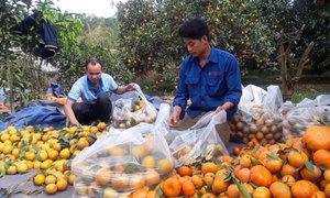 Trồng cam Cao Phong thu 3 tỷ đồng mỗi năm