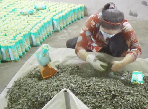 Công nhân dùng tay hốt trà bỏ vào túi đóng gói đem đi tiêu thụ. Ảnh: Phúc Hưng