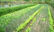 Mô hình trồng rau hữu cơ cho năng suất 400 tấn mỗi năm tại Sóc Sơn, Hà Nội