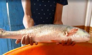 Ngư dân Vĩnh Long bắt được cá sủ vàng nặng 3,5 kg