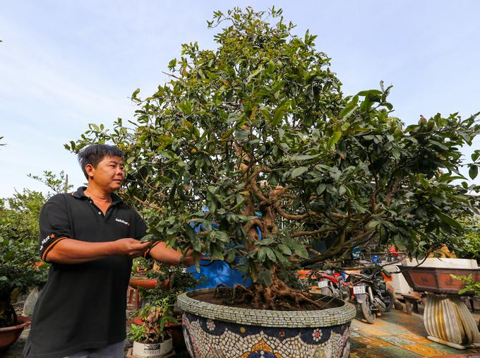 Những cây mai cổ thụ tiền tỷ bán Tết ở Sài Gòn
