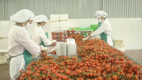 Công nhân đang đóng hộp cà chua. Ảnh: Bizmedia.