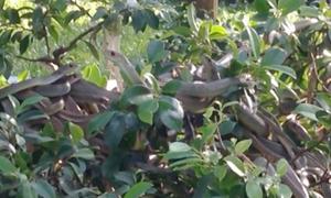 Gần 100 con rắn ráo 'ngụy trang' dày đặc trên cây si