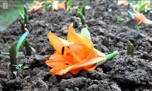 Nông dân xót xa nhìn đào Nhật Tân, hoa ly nở sớm