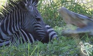 Ngựa vằn thoát hàm cá sấu trong gang tấc