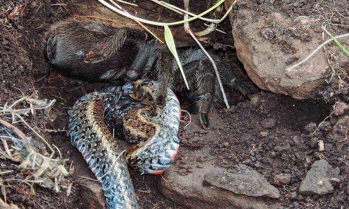Nhện độc to bằng bàn tay giết rắn để ăn thịt