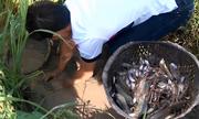 Bắt hàng trăm con cá mắc cạn trong ruộng lúa miền Tây