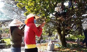 10 người lặt lá cho cây mai khủng suốt một ngày