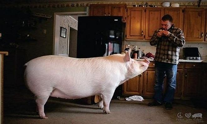 Con lợn nặng 3 tạ ngủ chung giường với chủ