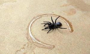 Nhện độc chết người tràn vào nhà khiến dân Australia lo sợ