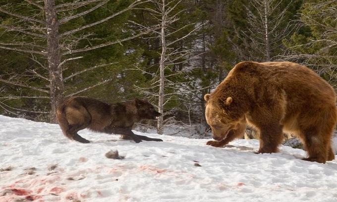 Gấu xám gần 3 tạ kịch chiến với bầy sói cướp mồi