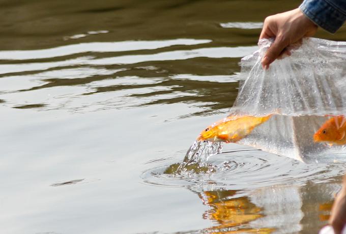 Người Sài Gòn thả cá chép sớm tiễn Táo quân chầu trời