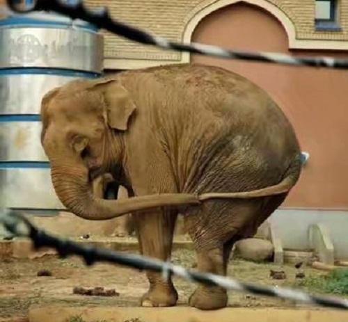 Cách voi ngoáy mũi.