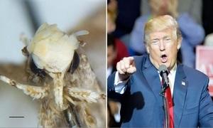 Loài bướm đêm mới có 'kiểu tóc' giống Donald Trump