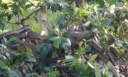 Gần 100 con rắn ráo ngụy trang dày đặc trên cây si