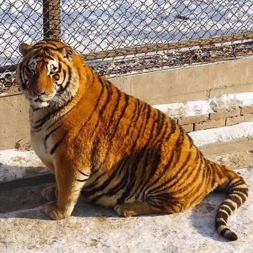 Những con hổ nằm lăn kềnh trên mặt đất với cơ thể dường như dư thừa quá nhiều mỡ và chiếc bụng tròn căng. Nhiều người cho rằng chúng đã ăn quá nhiều trong dịp Tết.