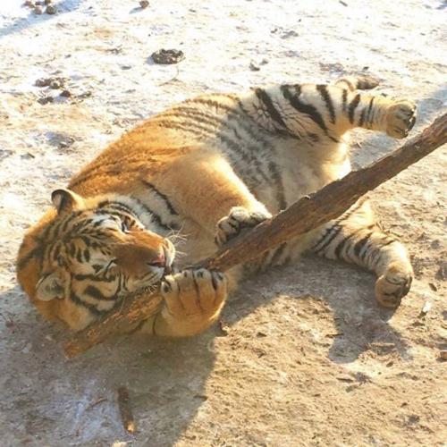Tuy nhiên, một số chuyên gia cho rằng đây là đặc tính của loài hổ, bởi chúng phải ăn nhiều hơn để tích mỡ và thích nghi với mùa đông lạnh giá ở Cáp Nhĩ Tân.