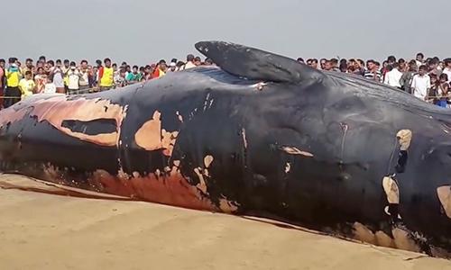 Xác cá voi dạt vào bờ biển ở Juhu, Mumbai, Ấn Độ. Ảnh: Daily Star