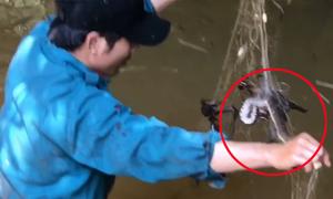 Đi giăng lưới cá nhưng 'dính' toàn rắn