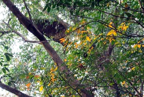 Đàn ong làm tổ trên cây cao su tấn công người đàn ông tử vong. Ảnh: Nguyệt Triều