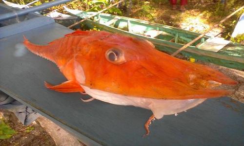 ca-bien-boc-giap-sa-luoi-ngu-dan-philippines