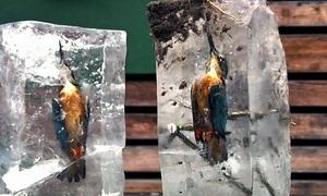Chim bói cá chết cứng trong băng vì tham mồi