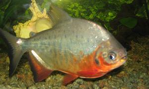 Tranh cãi việc phóng sinh 'cá chim ăn thịt' ra sông Hồng