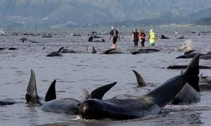 Nỗ lực tuyệt vọng cứu 416 cá voi dạt vào bờ biển New Zealand