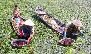 Lội ruộng thu hoạch củ ấu ở miền Tây