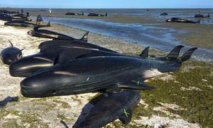 Hàng trăm xác cá voi có thể phát nổ trên bãi biển New Zealand