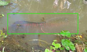 Bắt được cá hải tượng nặng hơn 100 kg ở Tiền Giang
