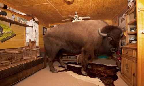 bo-bison-nang-1-1-tan-ngu-phong-rieng-an-cung-ban-voi-chu-6