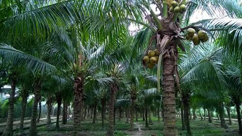 vườn dừa nhà chị Kiều có khoảng 500 gốc, trong đó là 100 gốc là dừa dứa cho giá trị kinh tế cao.