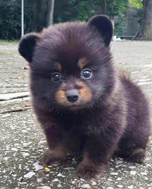 Đây là gấu hay chó?