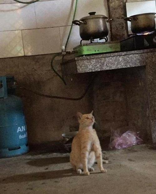 Mèo lực sĩ.