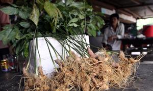 Nam bảo vệ rừng chủ mưu trộm 500 gốc sâm hàng trăm triệu đồng