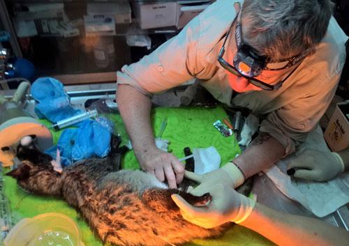 Cá thể cầy được các bác sĩ thú y của SVW chăm sóc