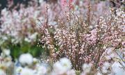 Hoa anh đào Nhật Bản khoe sắc bên Hồ Gươm