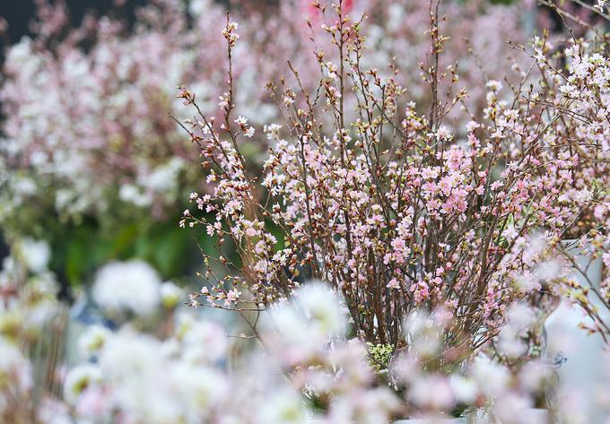 <p> Đa số hoa đã nở đúng dịp, tuy nhiên một số cây nở sớm hơn dự kiến do thời tiết Hà Nội.</p>