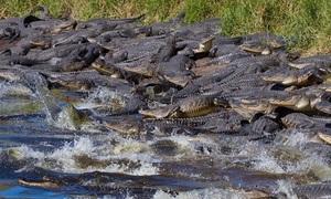 Hàng trăm cá sấu lúc nhúc trong hố tử thần khổng lồ ở Mỹ