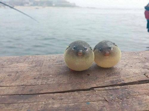 Hình ảnh ngộ nghĩnh của đôi cá nóc.