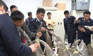 Hải quan Nội Bài khám hai va ly vô chủ chứa hơn 100kg nghi sừng tê giác