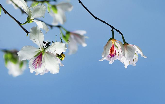 Tháng 3 - mùa hoa ban rừng nở rộ